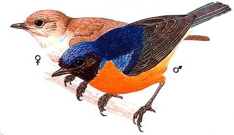 Краснобрюхая нильтава (Niltava sandara)