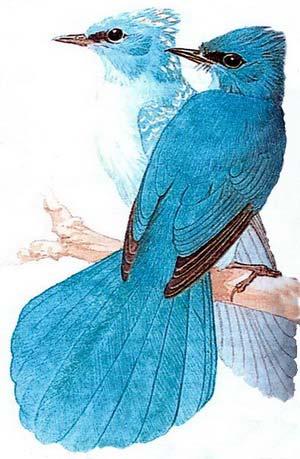 Бирюзовая хохлатая мухоловка (Elminia longicauda)