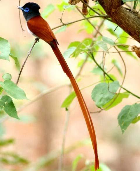 Африканская райская мухоловка (Terpsiphone viridis)