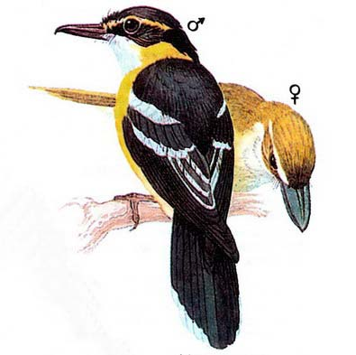 Желтогрудая лодкоклювая мухоловка (Machaerirhynchus flaviventer)