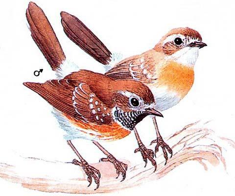 Элепайо (Chasiempis sandwichensis)