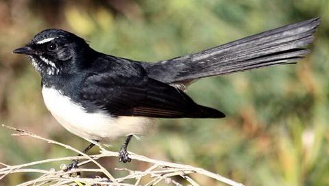 Черно-белая веерохвостка (Rhipidura leucophrys)