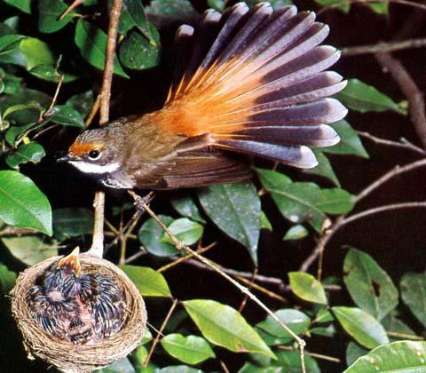 Краснолобая веерохвостка (Rhipidura rufifrons)
