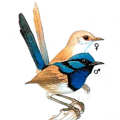 Прекрасный расписной малюр (Malurus cyaneus)