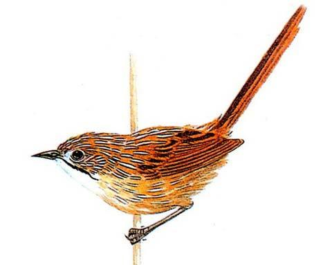 Полосатый травяной малюр (Amytornis striatus)