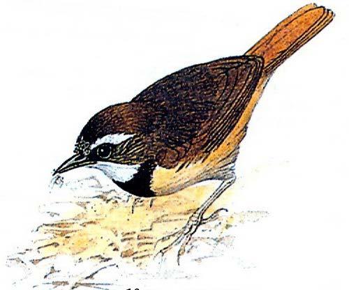 Признаки: Размеры взрослой птицы 12-14 см. Папоротниковые крапивники...
