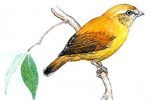 Короткоклювка (Smicrornis brevirostris)