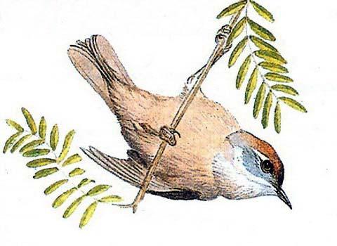 Финшия (Finschia novaeseelandiae)