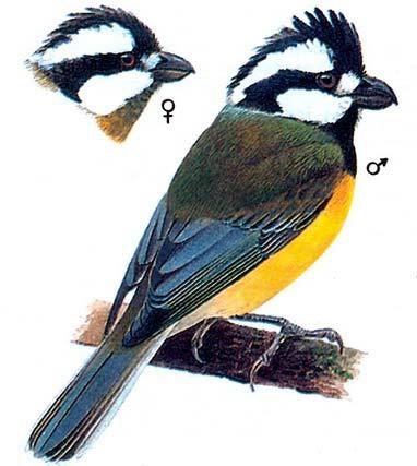 Синичья толстоголовка (Falcunculus frontatus)