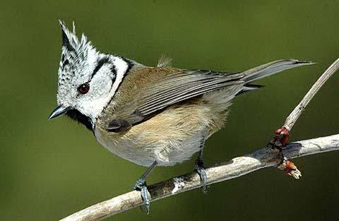 Хохлатая синица (Parus cristatus)