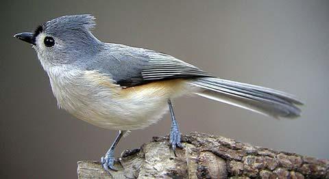 Острохохлая синица (Parus bicolor)