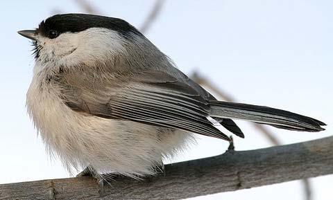Пухляк (Parus montanus)