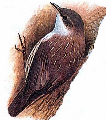 Буроголовая филиппинская пищуха (Rhabdornis inornatus)