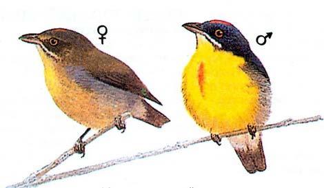 Красногрудый цветосос (Prinochilus percussus)