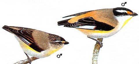 Полосатая радужная птица (Pardalotus striatus)