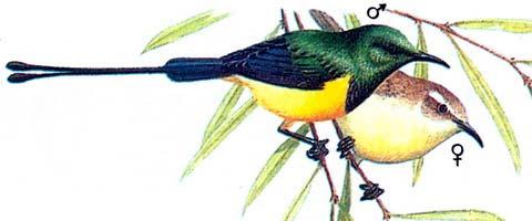 Карликовая короткоклювая нектарница (Anthreptes platurus)