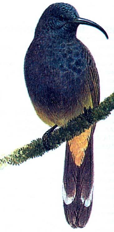Большая некарница (Nectarinia thomensis)