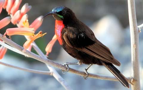 Яркокрасногрудая нектарница (Nectarinia senegalensis)