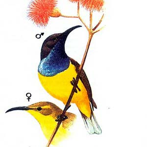 Желтобрюхая нектарница (Nectarinia jugularis)