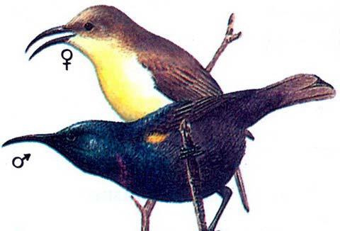 Пурпуровая нектарница (Nectarinia asiatica)