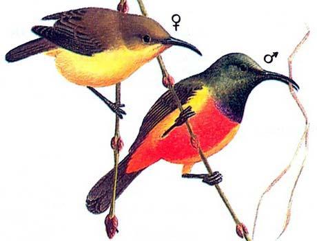 Королевская нектарница (Nectarinia regia)