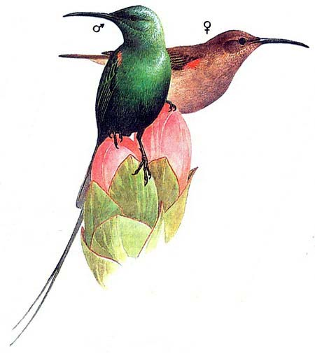 Нитехвостая нектарница (Nectarinia johnstoni)