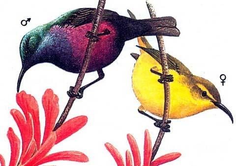 Нектарница-красотка (Nectarinia superba)