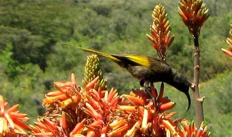 Золотокрылая нектарница (Nectarinia reichenowi)