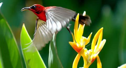 Желтоспинная острохвостая нектарница (Aethopyga siparaja)