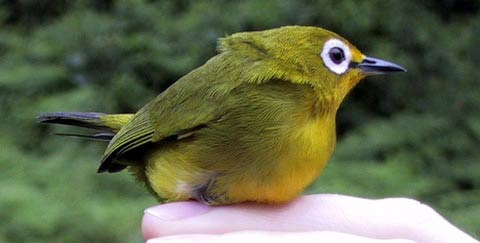 Желтая африканская белоглазка (Zosterops senegalensis)