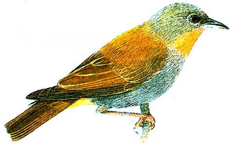 Рыжегрудая белоглазка (Madanga ruficollis)