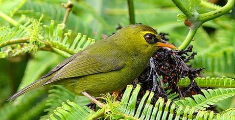 Оливковая черноглазка (Chlorocharis emiliae)