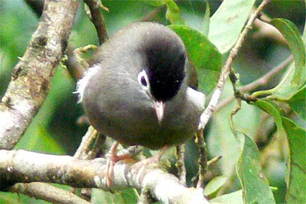 Черношапочная белоглазка (Speirops lugubris)