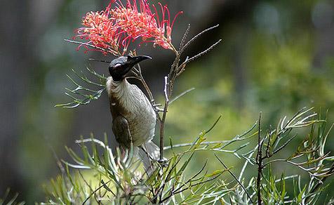 Крикливый филемон (Philemon corniculatus)