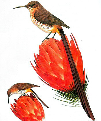 Сахарная птица или Капский сахарный медосос (Promerops cafer)