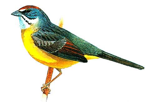 Кубинская овсянка (Torreornis inexpectata)