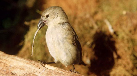 Дятловый вьюрок (Camarhynchus pallidus)
