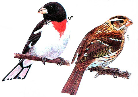 Красногрудый дубоносовый кардинал (Pheucticus ludovicianus)
