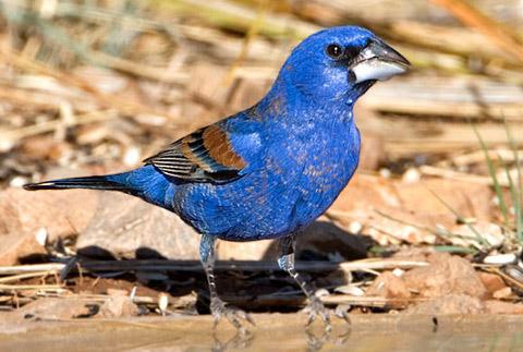 Голубая гуирака или синий дубонос (Guiraca caerulea)
