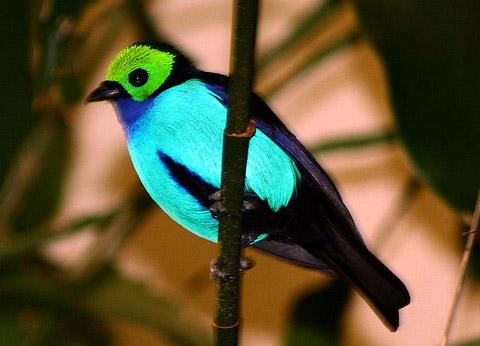 Райская танагра (Tangara chilensis )