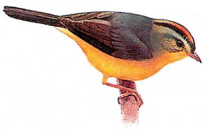 Золотоголовый корольковый певун (Basileuterus culicivorus)