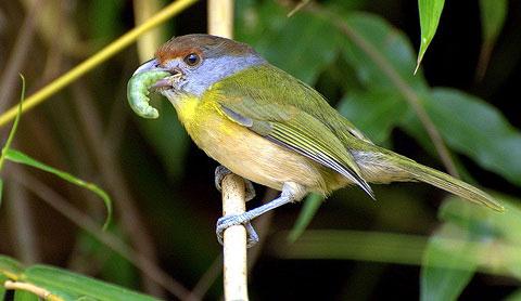 Краснобровый попугайный виреон (Cyclarhis gujanensis)