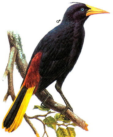 Хохлатая оропендола (Psarocolius decumanus)