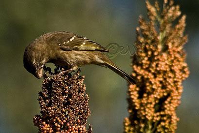 Толстоклювый канареечный вьюрок (Serinus burtoni)