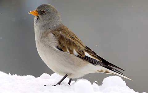 Снежный воробей или снежный вьюрок (Montifringilla nivalis)