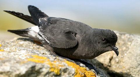 Прямохвостая качурка (Hydrobates pelagicus)