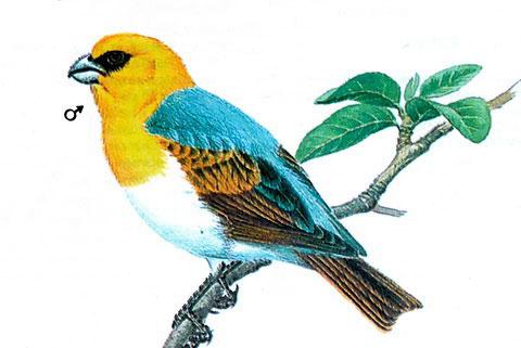 Шафрановая вьюрковая цветочница (loxioides bailleui)