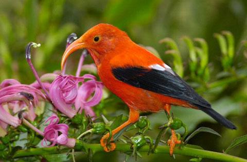 Иви или алая цветочница (Vestiaria coccinea)