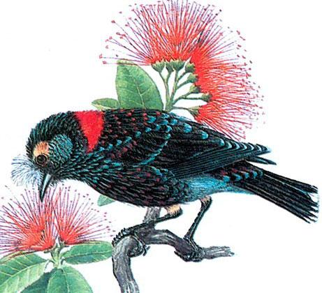 Хохлатая Гавайская цветочница (Palmeria dolei)