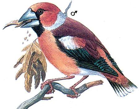 Европейский дубонос (Coccothraustes coccothraustes)